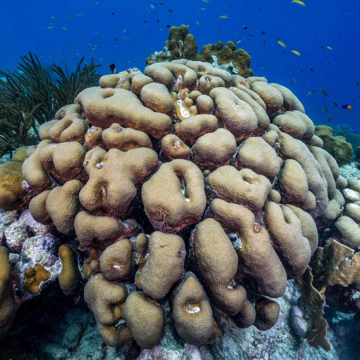 Reef Renewal Foundation Bonaire - A 'boulder' approach to reef restoration 1
