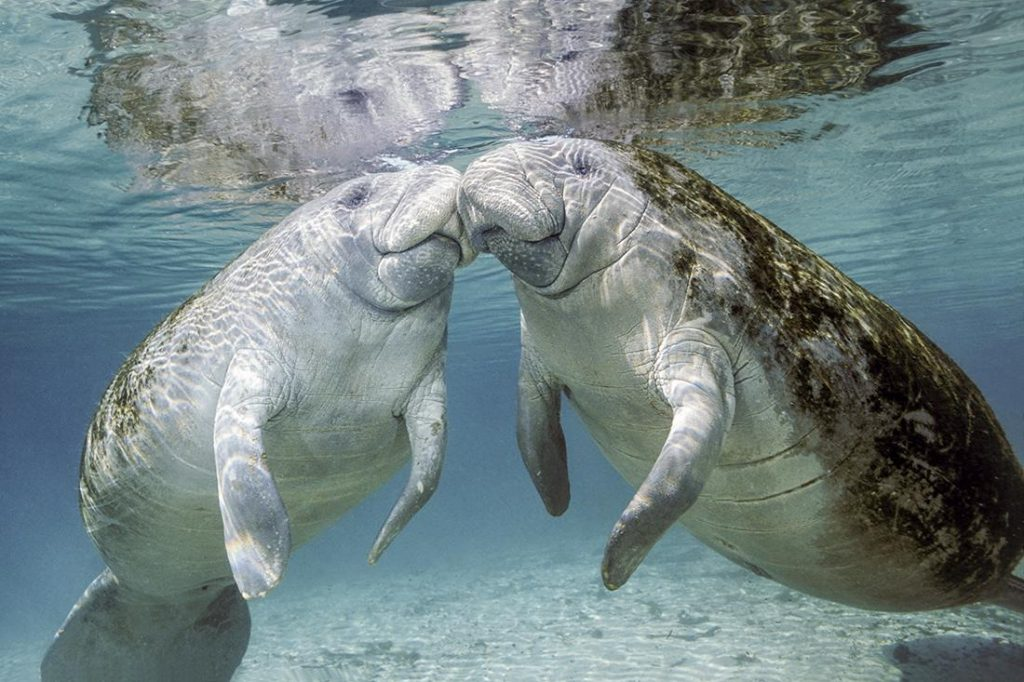 Florida manatee (Trichechus m. latirostris) is a subspecies of the West Indian manatee (Trichechus manatus).
