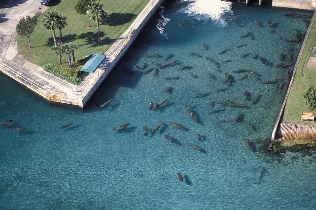 Large number of manatees taking refuge from the cold in the warm water discharge from a Florida power plant.
