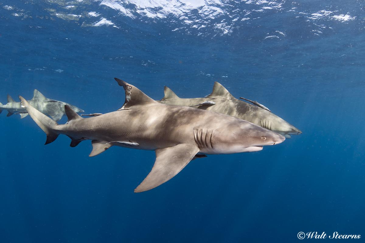 Lemon sharks are a protected species in Florida waters.