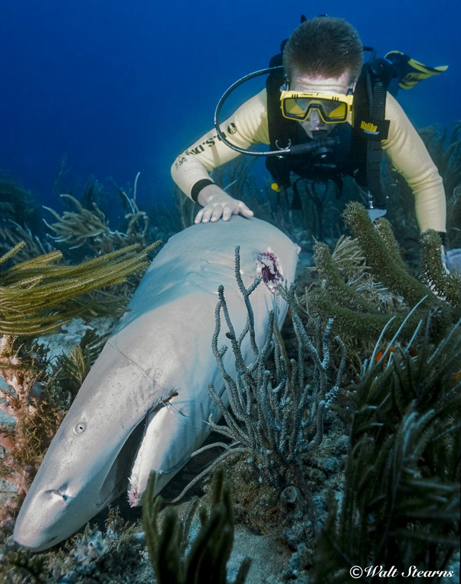 Large lemon shark that had its fins cut away before being discarded.