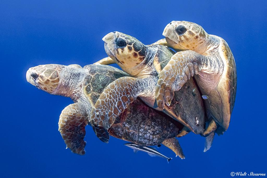 During mating season, the yearly ritual for adult loggerheads can get very heated with males jockeying for the chance to mate with viable females, which can sometimes ensue into a fight or two between suitors.