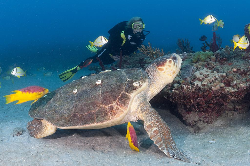 Diver with a large loggerhead sea turtle (Caretta caretta) on the reef offshore of Florida's Palm Beaches.