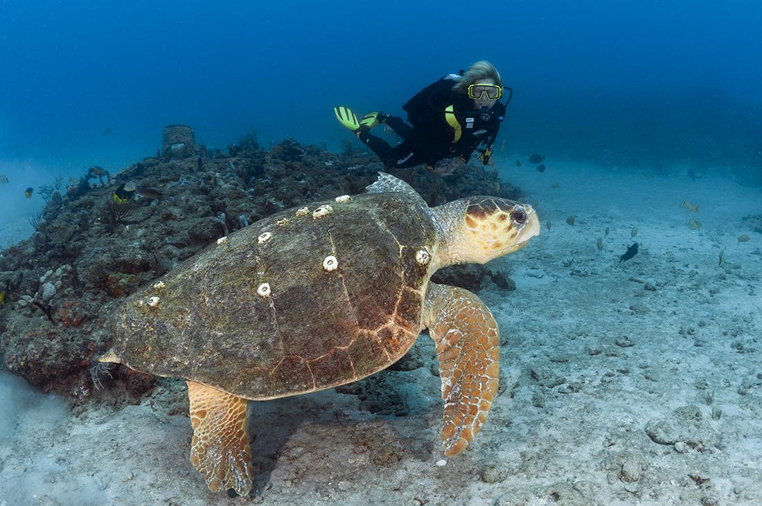 An underwater photographer makes his approach to this large loggerhead slow and low so as to not spook his subject