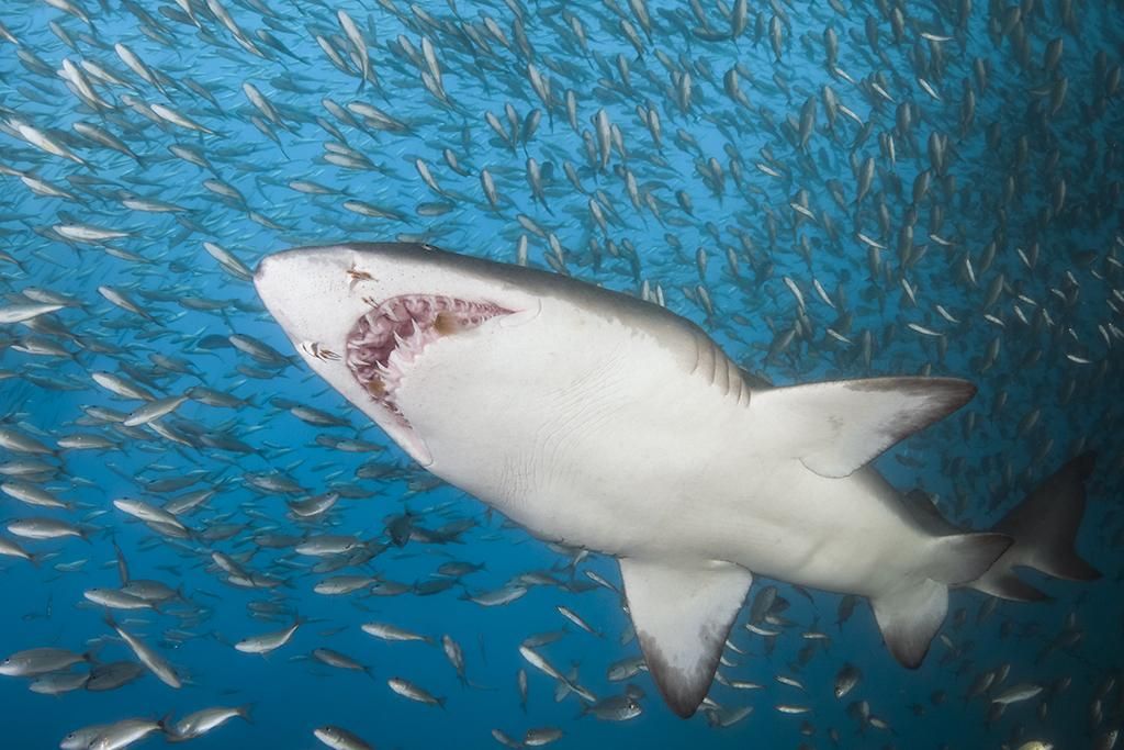 A cluster of sand tiger sharks appear almost suspended in place in the upper water column.