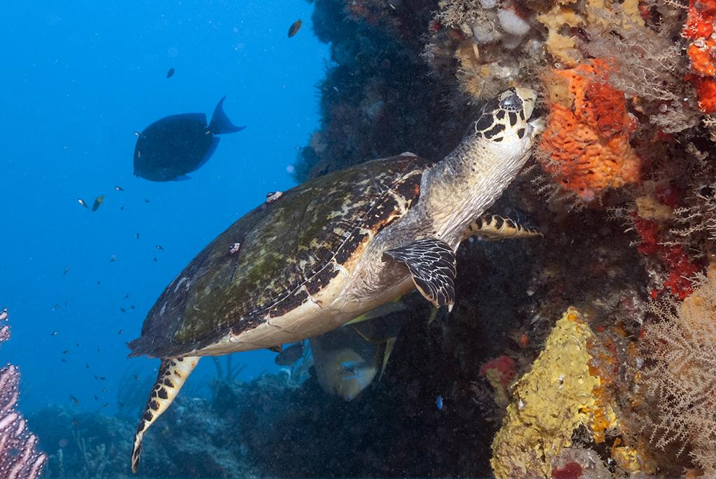 An Atlantic hawksbill (Eretmochelys imbricata) are what can be called a spongivore as it constitutes 70–95% of their diet.