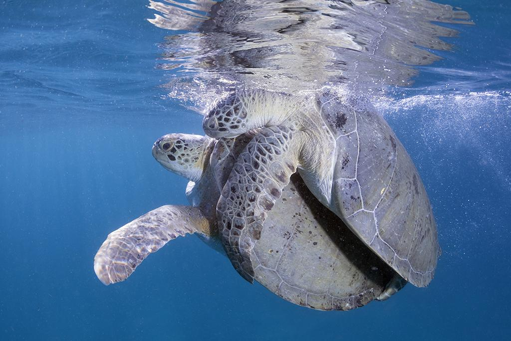 During the early part of June through August is good time for witnessing green sea turtles mating, which often takes place at or near the surface.