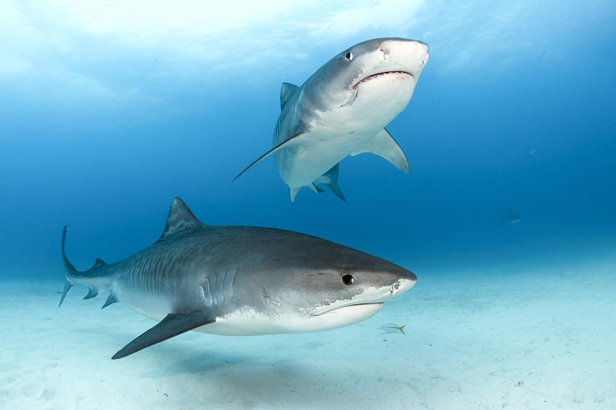 A pair of very large tiger sharks (Galeocerdo cuvieri) coming in for an inspection.