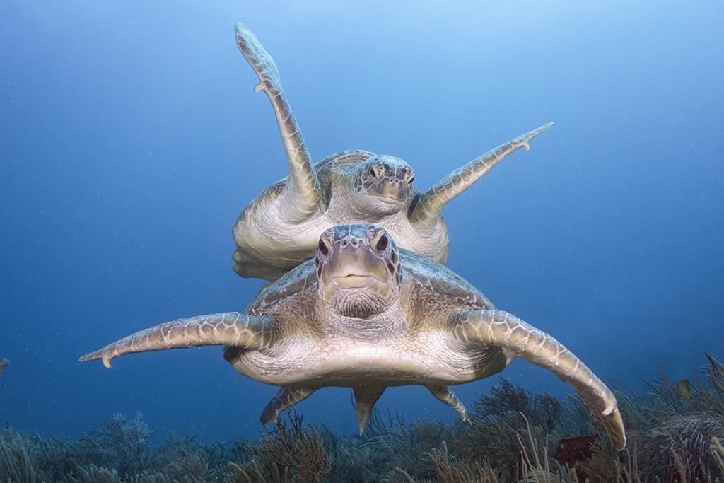 Two large green sea turtles (Chelonia mydas) coming to get a better look.