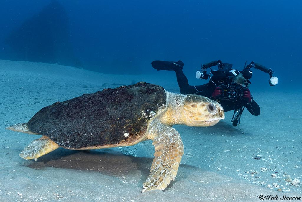 An underwater photographer makes his approach to this large loggerhead slow and low so as to not spook his subject.