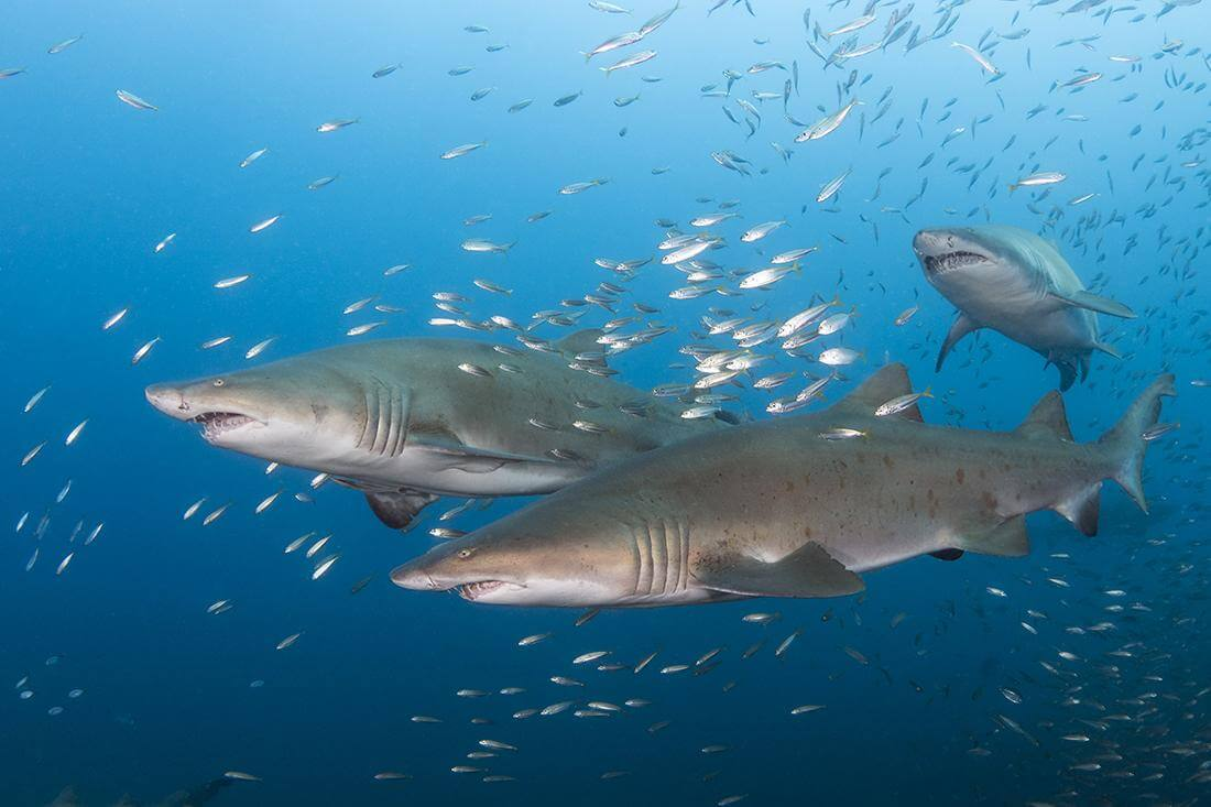 Sand tiger sharks on the wreck of the Caribsea North Carolina