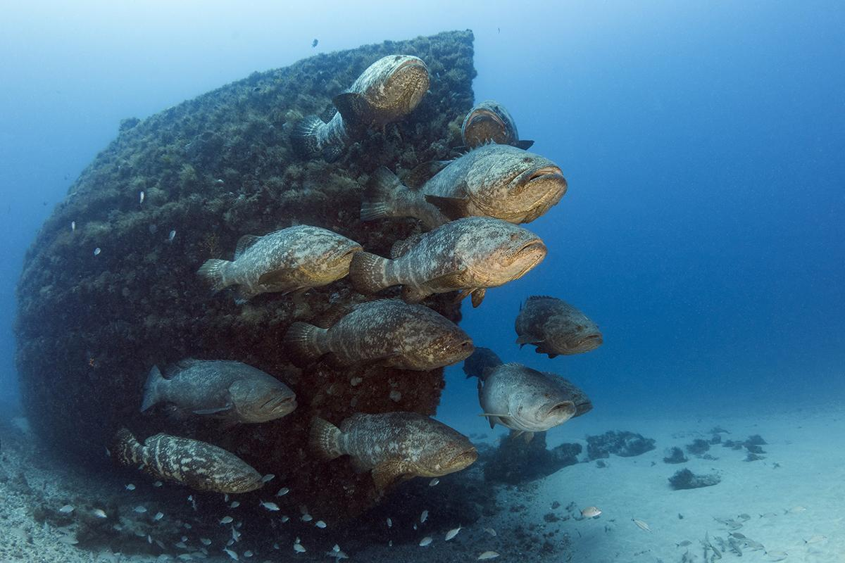 A group of goliath groupers hover in front of the wreck of the Esso Bonaire during spawning season in the waters off Jupiter Florida