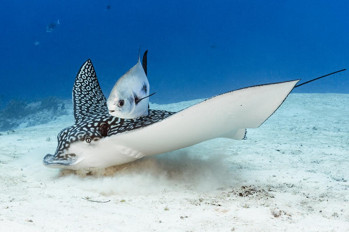 Spotted eagle ray hunting for food hidden in the sand.