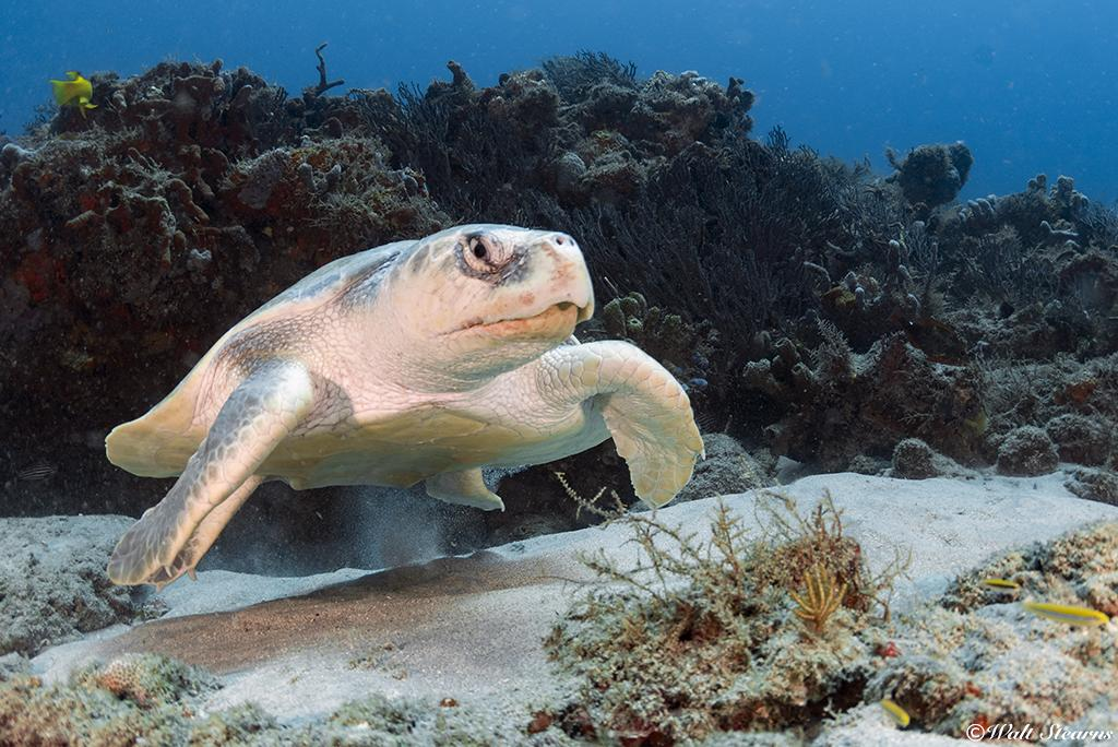 At one time, the Kemp's Ridley (Lepidochelys kempii) were once the most prolific species of sea turtle in the Gulf of Mexico, ranging from as far north as the coast of Alabama southward to the Campeche Bank, near the Yucatan Peninsula.