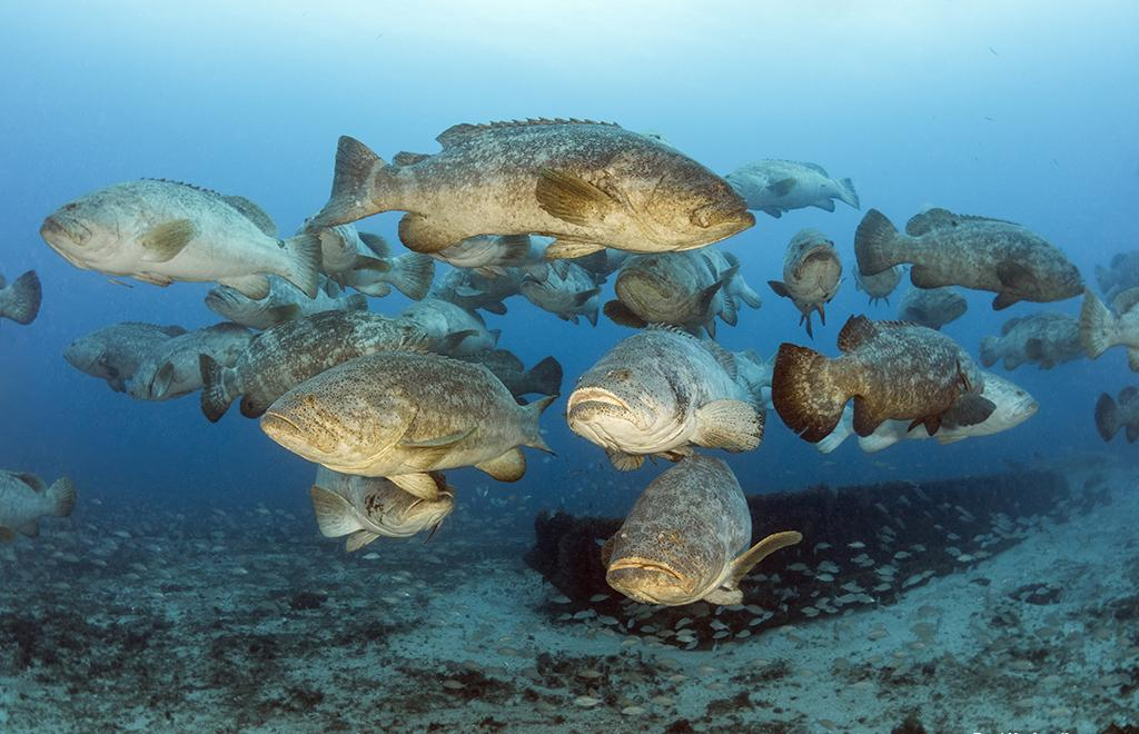 The best photo opps is the Wreck Trek's resident population of goliath grouper. Goliath groupers (Epinephelus itajara) are the largest predatory, reef-dwelling boney fish in the Tropical Atlantic and Caribbean weighing as much as 500 pounds/ 226 kilos
