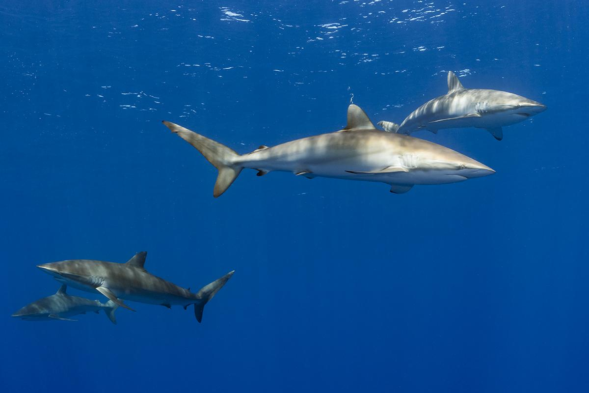 Silky sharks in the blue at the dive site Roca Partida in the Isla Revillagigedos