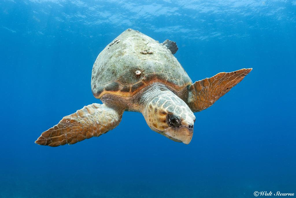 Large loggerhead sea turtle making its descent back to the bottom after recharging its lungs on the surface.