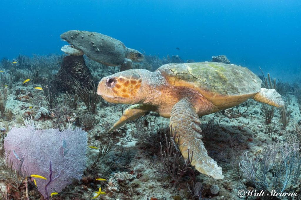 Offshore on the reef tracks in the 60-foot range between Jupiter and Boynton Beach, divers have described themselves as being outnumbered by turtles, running across as many as 15 to 30 plus large turtles bedded down for a nap on the reef during the course of single drift dive.
