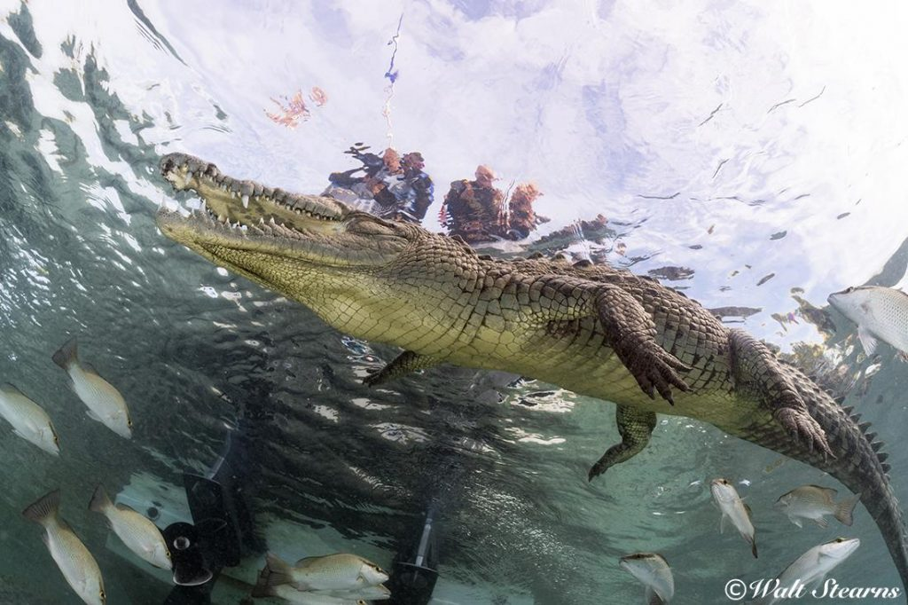 A view of an American saltwater crocodile (Crocodylus acutus) from below. Makes me wonder why everyone else is still in the boat.