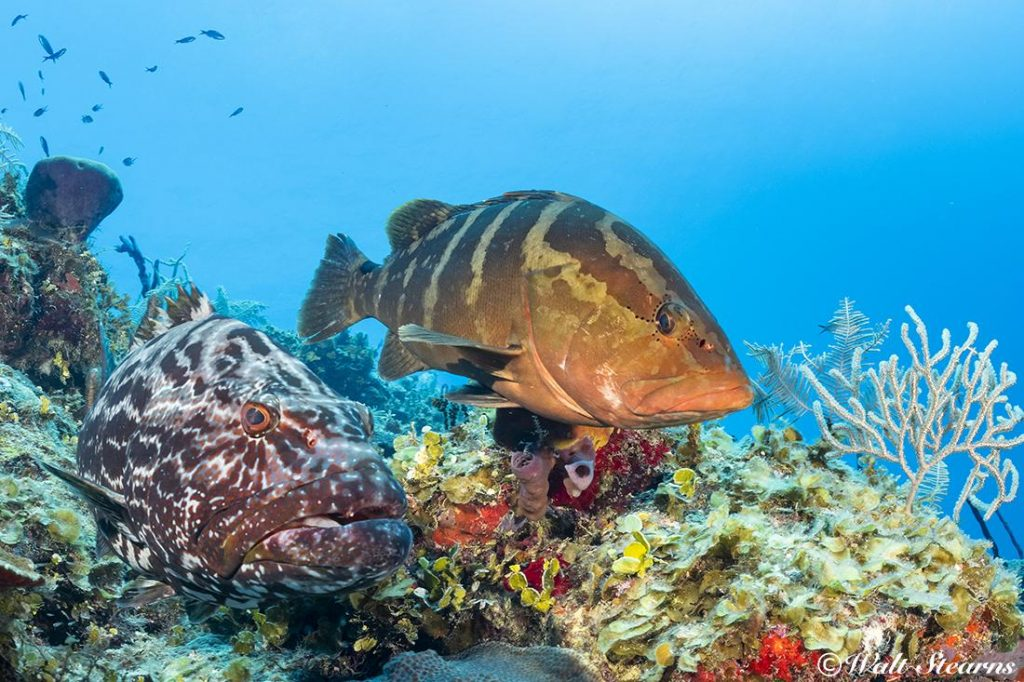 While this unlikely pair (a large black grouper with an adult Nassau grouper) would be a very rare sight in this day and age in the rest of the Caribbean, it is pretty much commonplace inside Cuba's Jardines de la Reina marine park.