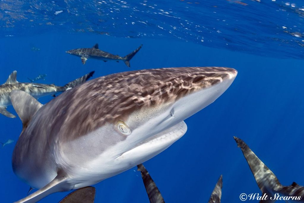 Silky sharks up close and personal