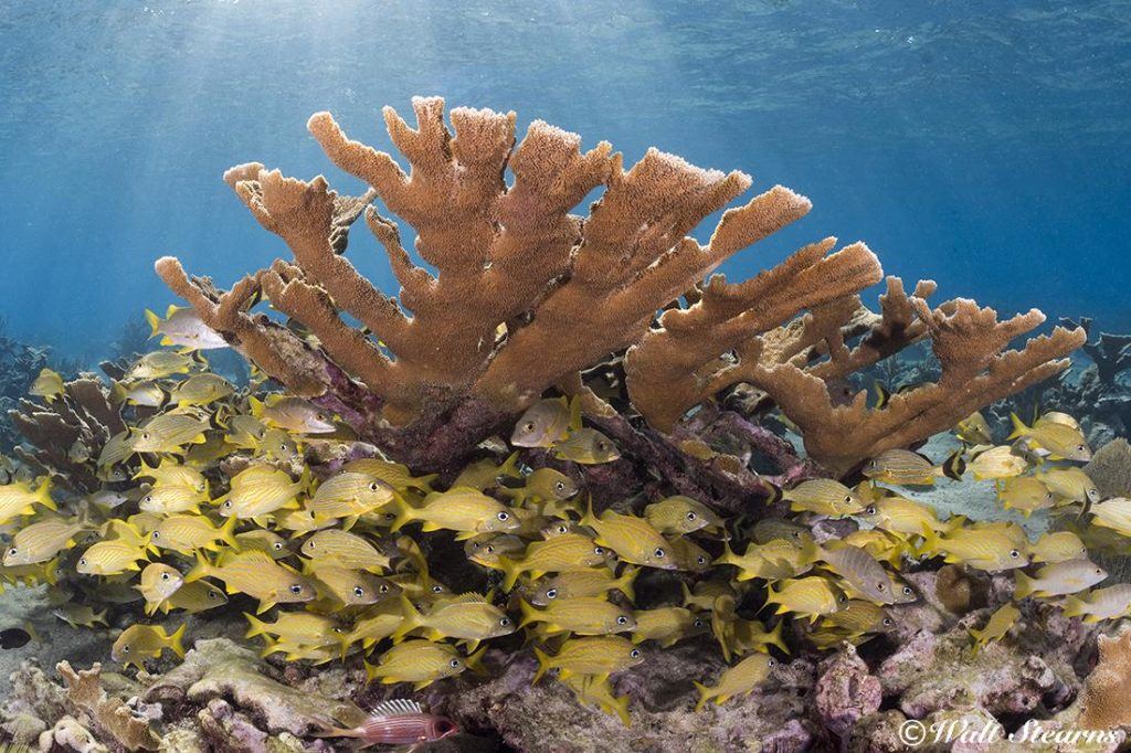 Thriving Elkhorn coral garden in the shallows of Cuba's Jardines de la Reina, the Garden of the Queen