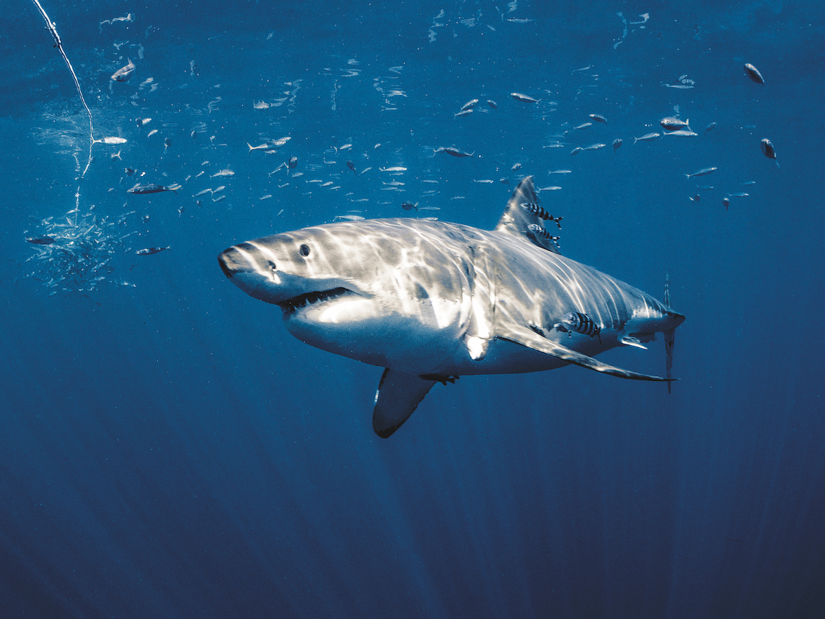 Guadalupe - submersible cage diving with great white sharks