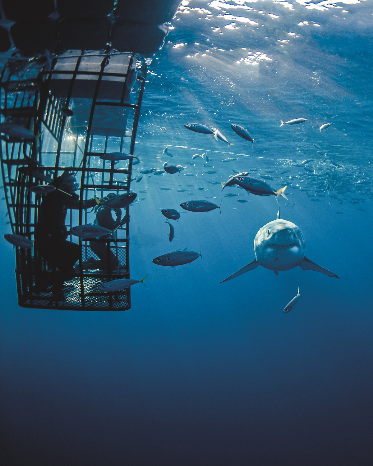 Guadalupe - Cage diving with great white sharks