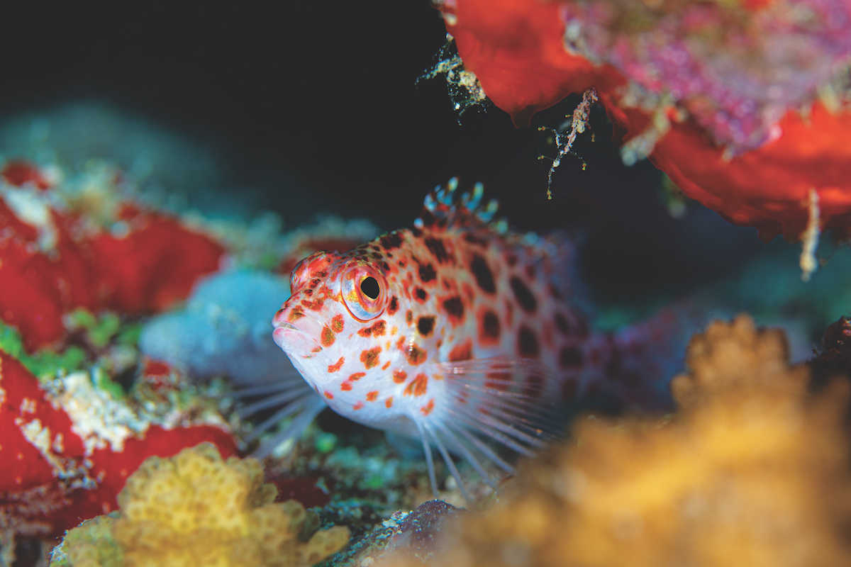 Diving in the Maldives - hawkfish.