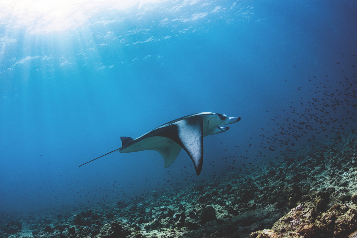 Diving in the Maldives - Dhigali's manta rays