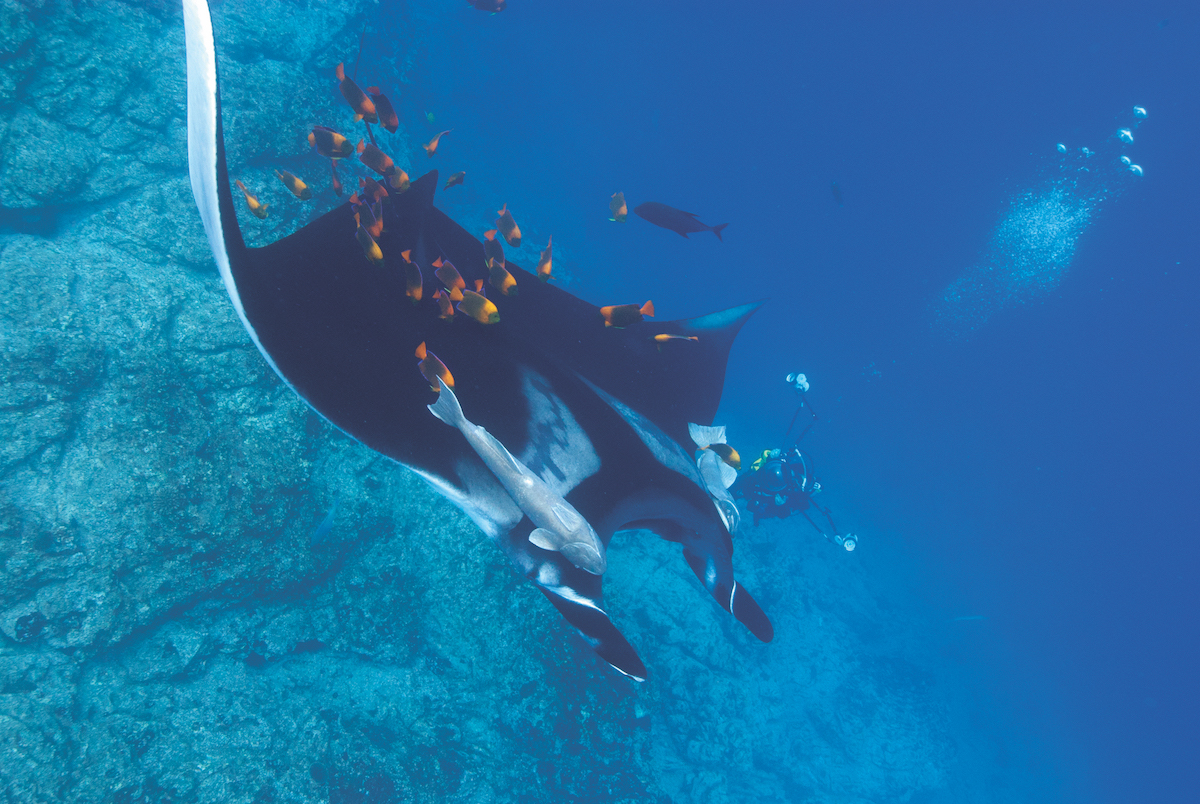 Socorro diving with manta rays.