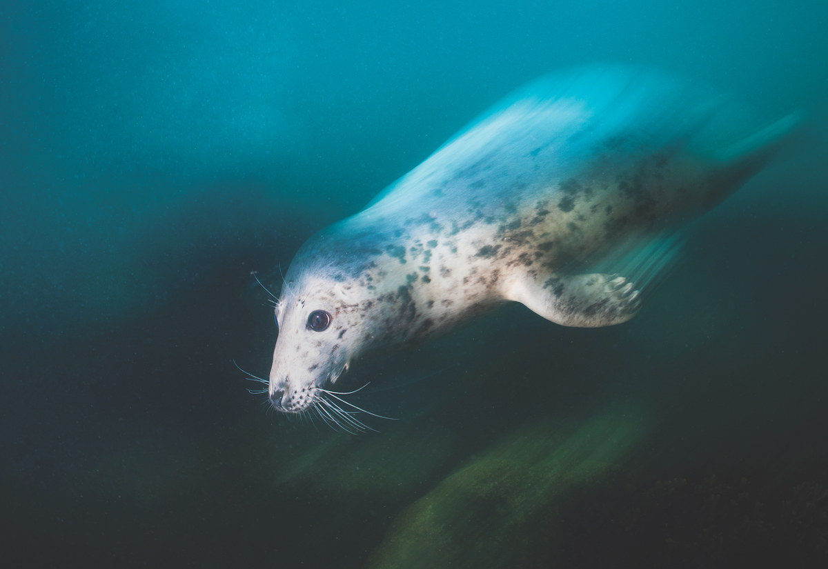 Diving with seals - capturing the sense of speed.