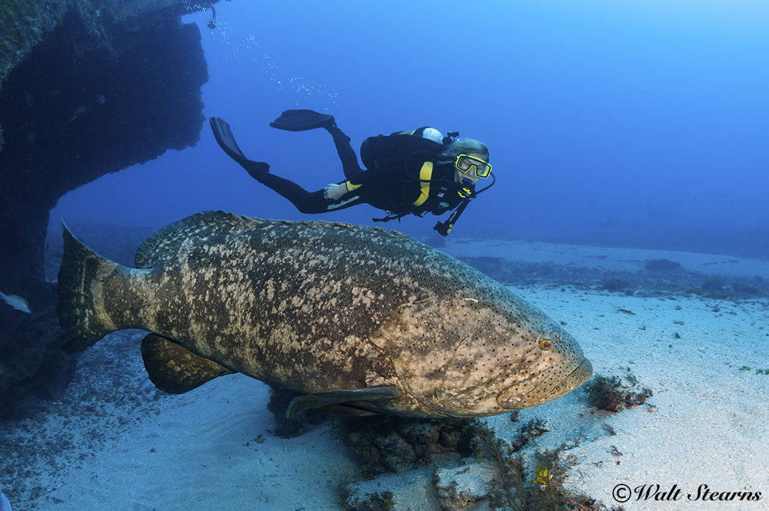 Florida's Goliath grouper under fire – again!